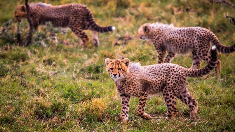 Porini Lions Masai Mara
